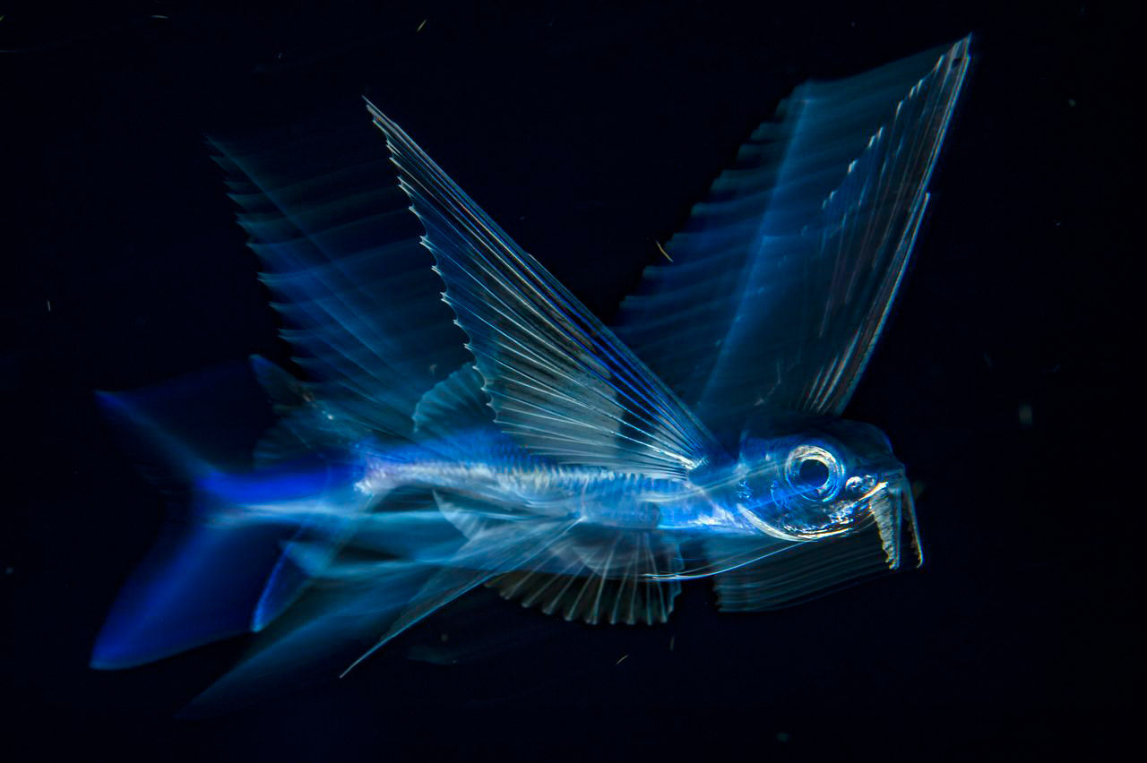 Flying Fish In Motion, © Michael O'Neill, 3rd Place, Underwater, National Geographic Nature Photographer of the Year Contest