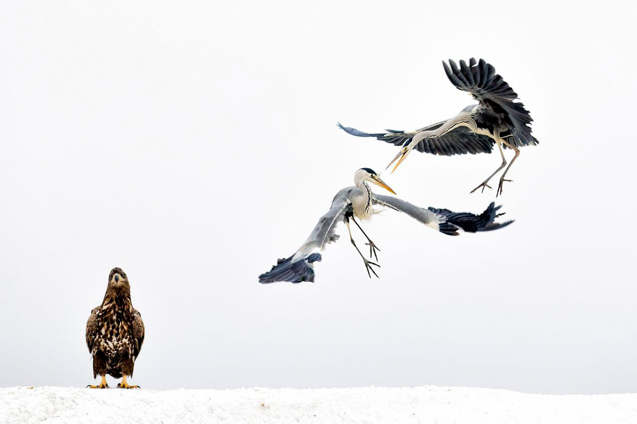 White Fighters, © Bence Mate, 3rd Place, Wildlife, National Geographic Nature Photographer of the Year Contest