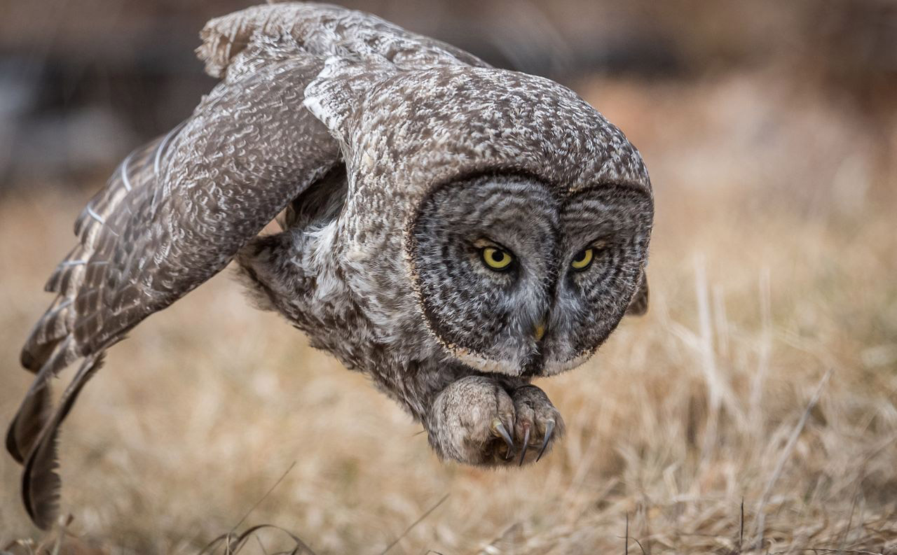 Great Gray Owl, © Harry Collins, People's Choice, Wildlife, National Geographic Nature Photographer of the Year Contest