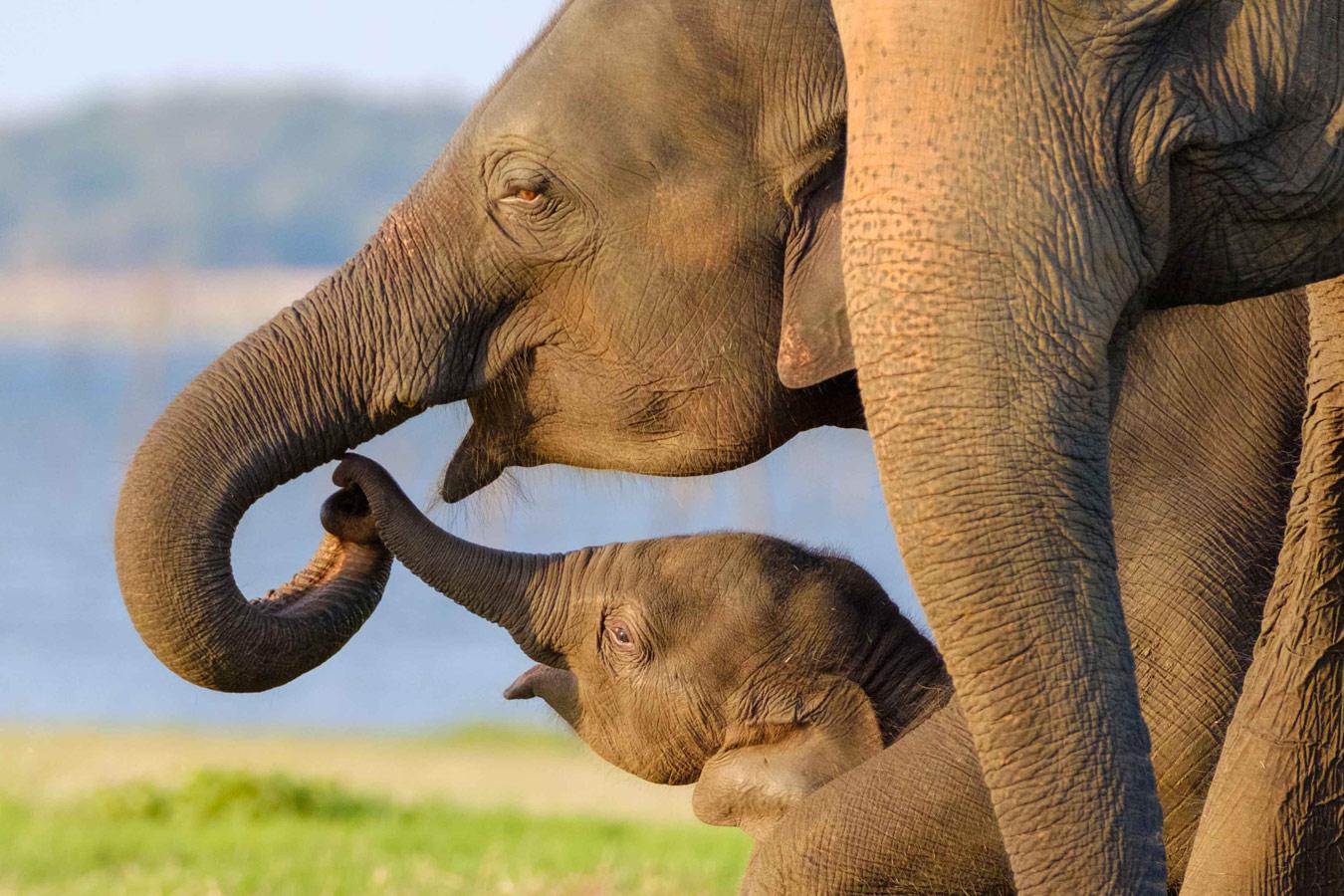 Parental Love, Sri Lanka, © By Shin Okamoto, Tokyo, Japan, Lumix Award, Nature's Best Photography Asia