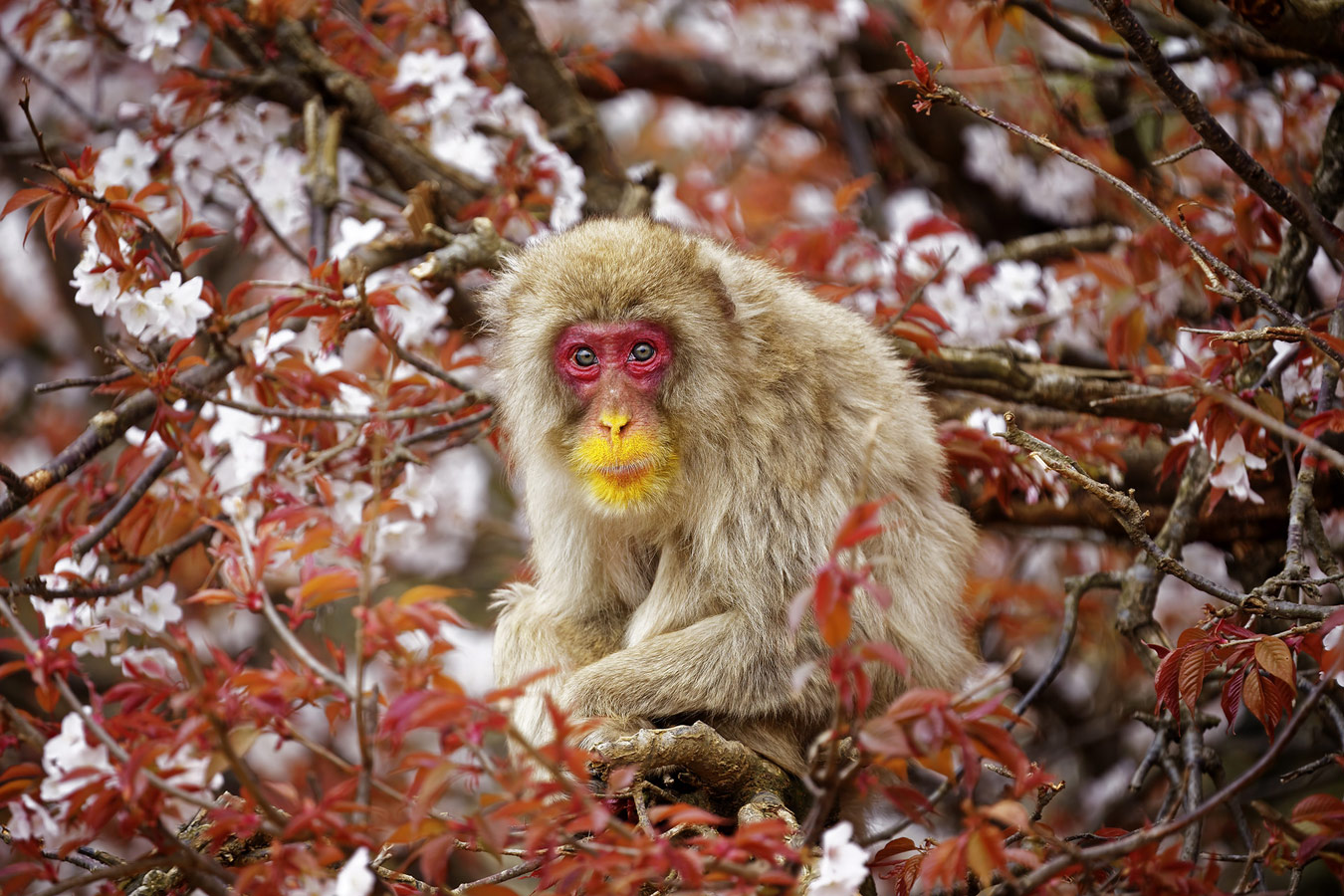 On the cherry tree, © Shinichi Masuda, Tokyo, Japan, Winner Wildlife, Nature's Best Photography Asia