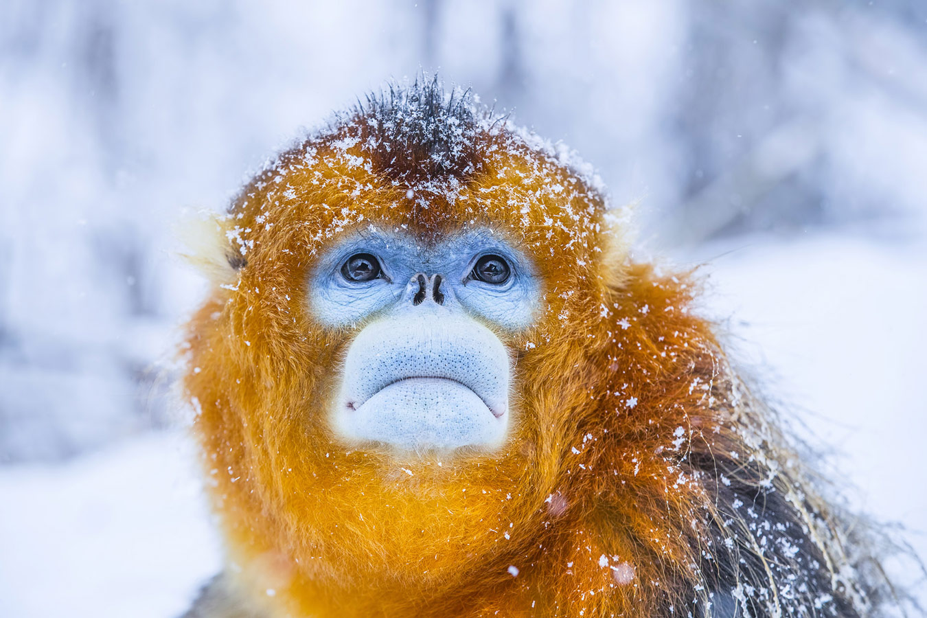 Golden monkey, © Mingjian Yu, Wuhan, China, Highly Honored Wildlife, Nature's Best Photography Asia