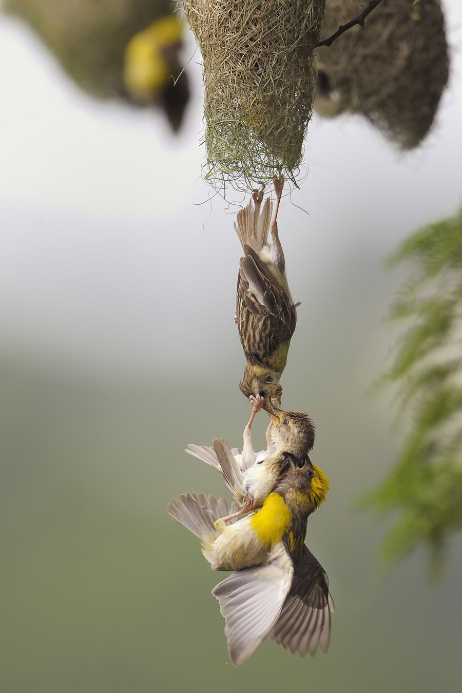 Baya weaver fight, © V Krishnan, Mumbai, India, Winner Birds, Nature's Best Photography Asia
