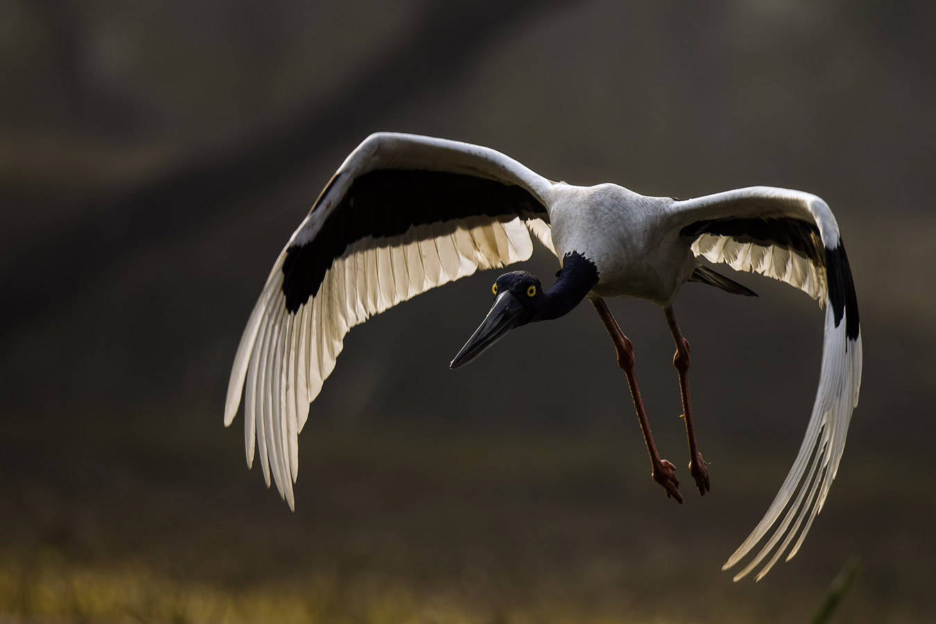Black necked stork, © Indranil Basu Mallick, Pune, India, Highly Honored Birds, Nature's Best Photography Asia
