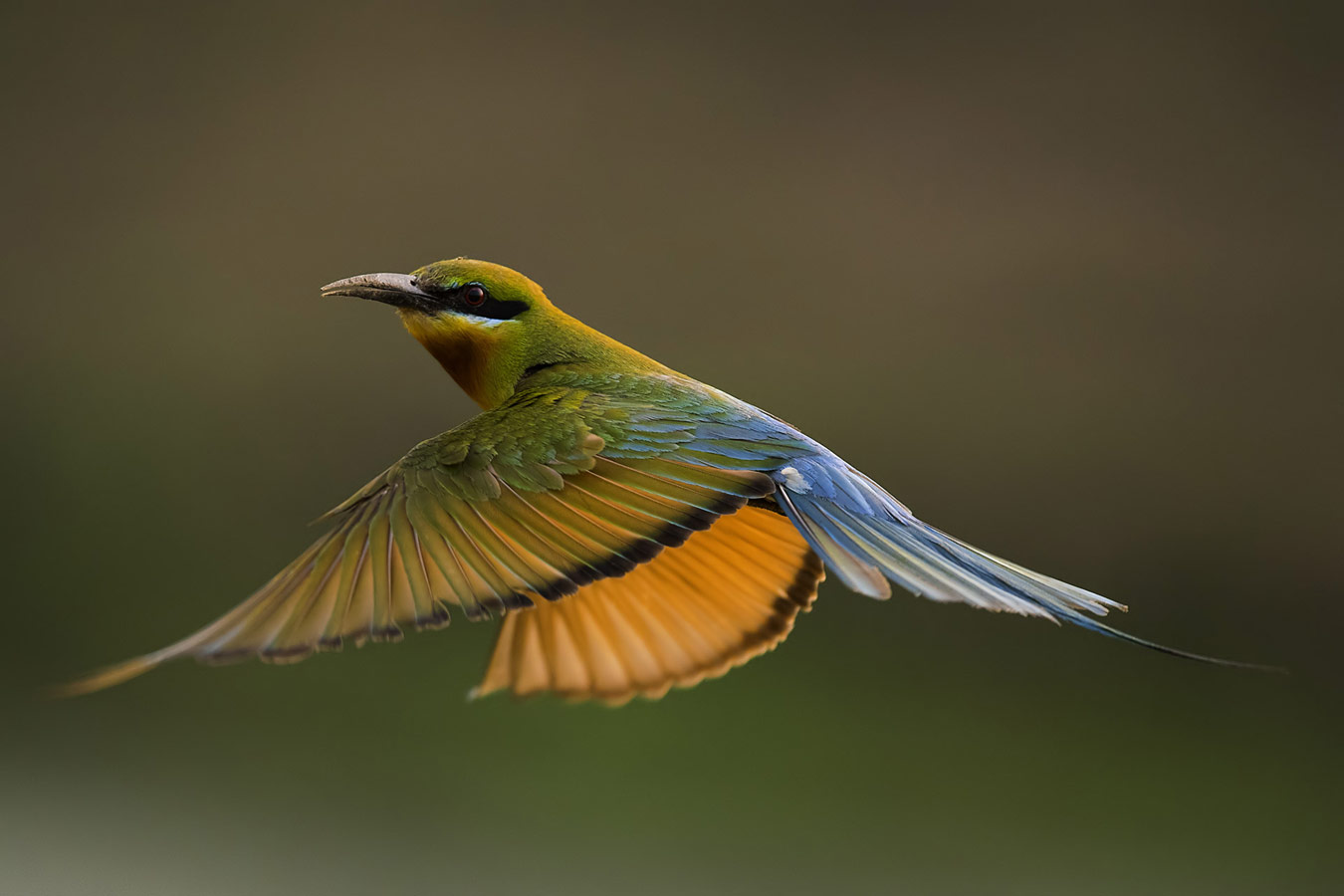 Blue tailed bee eater, © Kallol Mukherjee, West-Bengal, India, Highly Honored Birds, Nature's Best Photography Asia