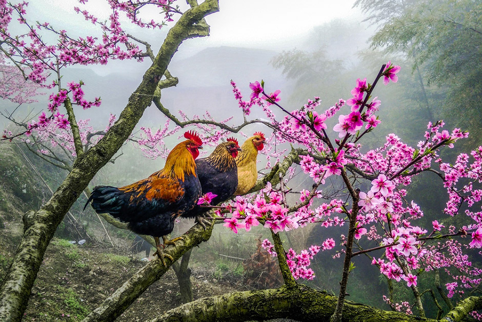 The Roosters on the Tree, © Huang SanDing, 3rd Prize, Nikon Photo Contest