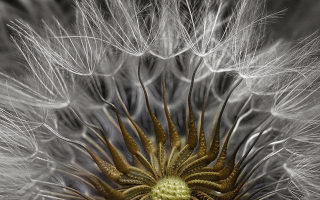 Senecio vulgaris (a flowering plant) seed head, © Dr. Havi Sarfaty, Eyecare Clinic, Yahud-Monoson, Israel, 2ND PLACE, Nikon's Small World — Photomicrography Competition