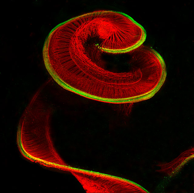 Newborn rat cochlea with sensory hair cells (green) and spiral ganglion neurons (red), © Dr. Michael Perny, University of Bern, Institute for Infectious Diseases, Bern, Switzerland, 8TH PLACE, Nikon's Small World — Photomicrography Competition