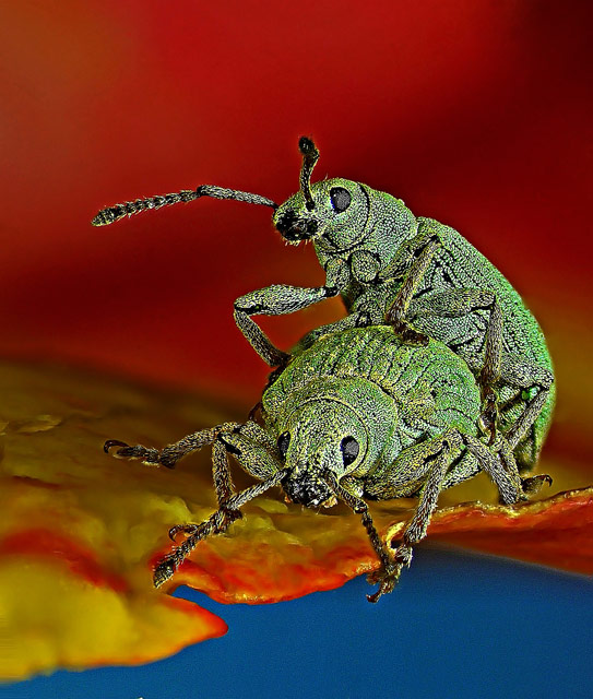 Phyllobius roboretanus (weevil), © Dr. Csaba Pintér, University of Pannonia, Georgikon Faculty, Department of Plant Protection, Keszthely, Hungary, 10TH PLACE, Nikon's Small World — Photomicrography Competition