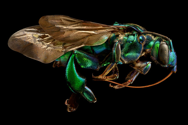 Exaerete frontalis (orchid cuckoo bee) from the collections of the Oxford University Museum of Natural History, © Levon Biss, Levon Biss Photography Ltd, Ramsbury, United Kingdom, 13TH PLACE, Nikon's Small World — Photomicrography Competition