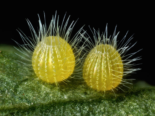 Common Mestra butterfly (Mestra amymone) eggs, laid on a leaf of Tragia sp. (Noseburn plant), © David Millard, Austin, Texas, USA, 14TH PLACE, Nikon's Small World — Photomicrography Competition