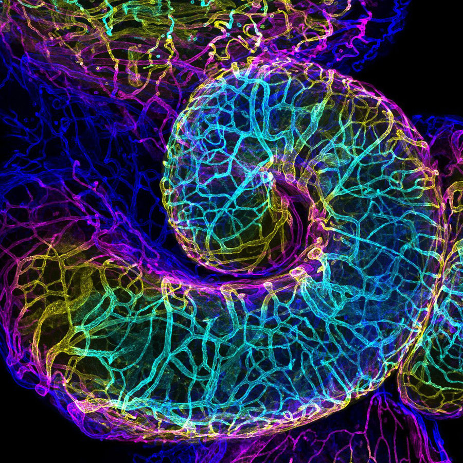 Mouse oviduct vasculature, © Dr. Amanda D. Phillips Yzaguirre, Salk Institute for Biological Studies, La Jolla, California, USA, 16th Place, Nikon's Small World - Photomicrography Competition
