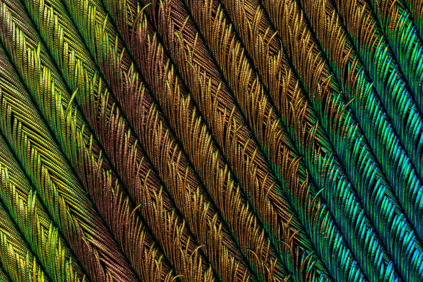 Peacock feather section, © Can Tunçer, İzmir, Turkey, 4th Place, Nikon's Small World - Photomicrography Competition