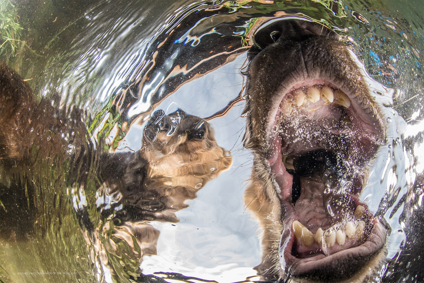 Curios bears cubs, © Mike Korostelev, Absolute Winner of the Contest, Nature Photographer of the Year