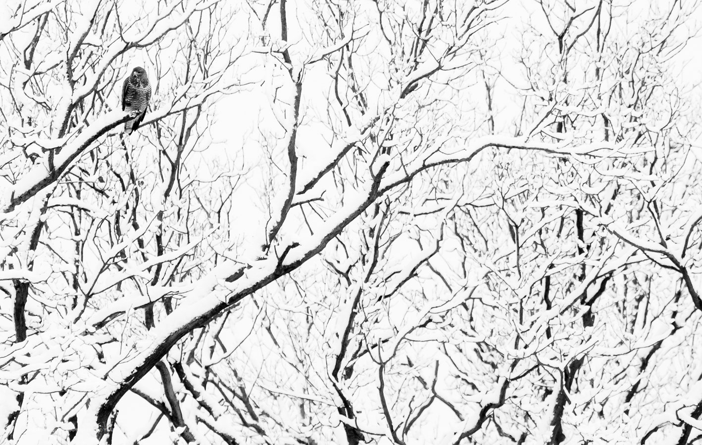 Buzzard, © Rick Van der Kraats, Winner by Category C10 - Youth 10-17 years, Nature Photographer of the Year