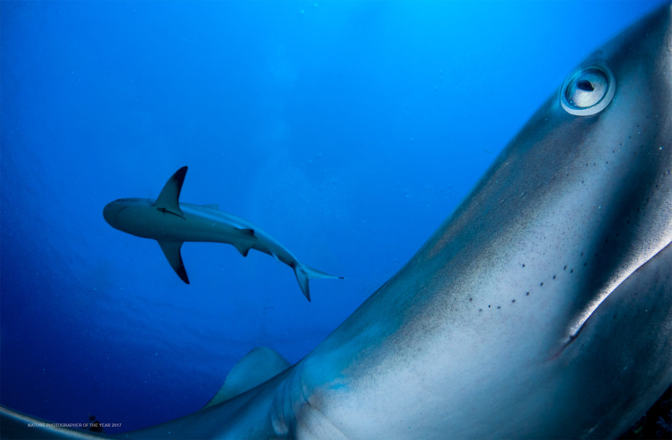 Reef Sharks, © Shane Gross, Winner by Category C6 - Underwater, Nature Photographer of the Year