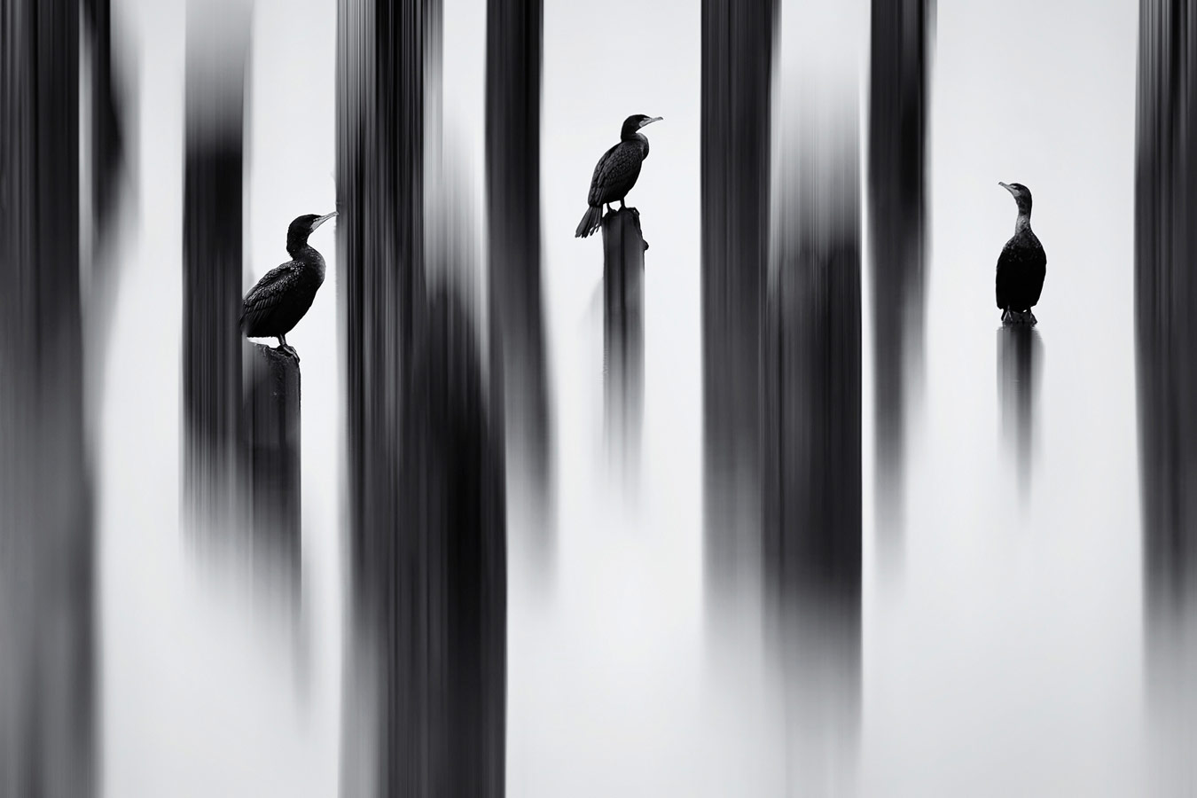 Painted Cormorans, © Shane Kalyn (CAN), Runner-up, Nature Photographer of the Year