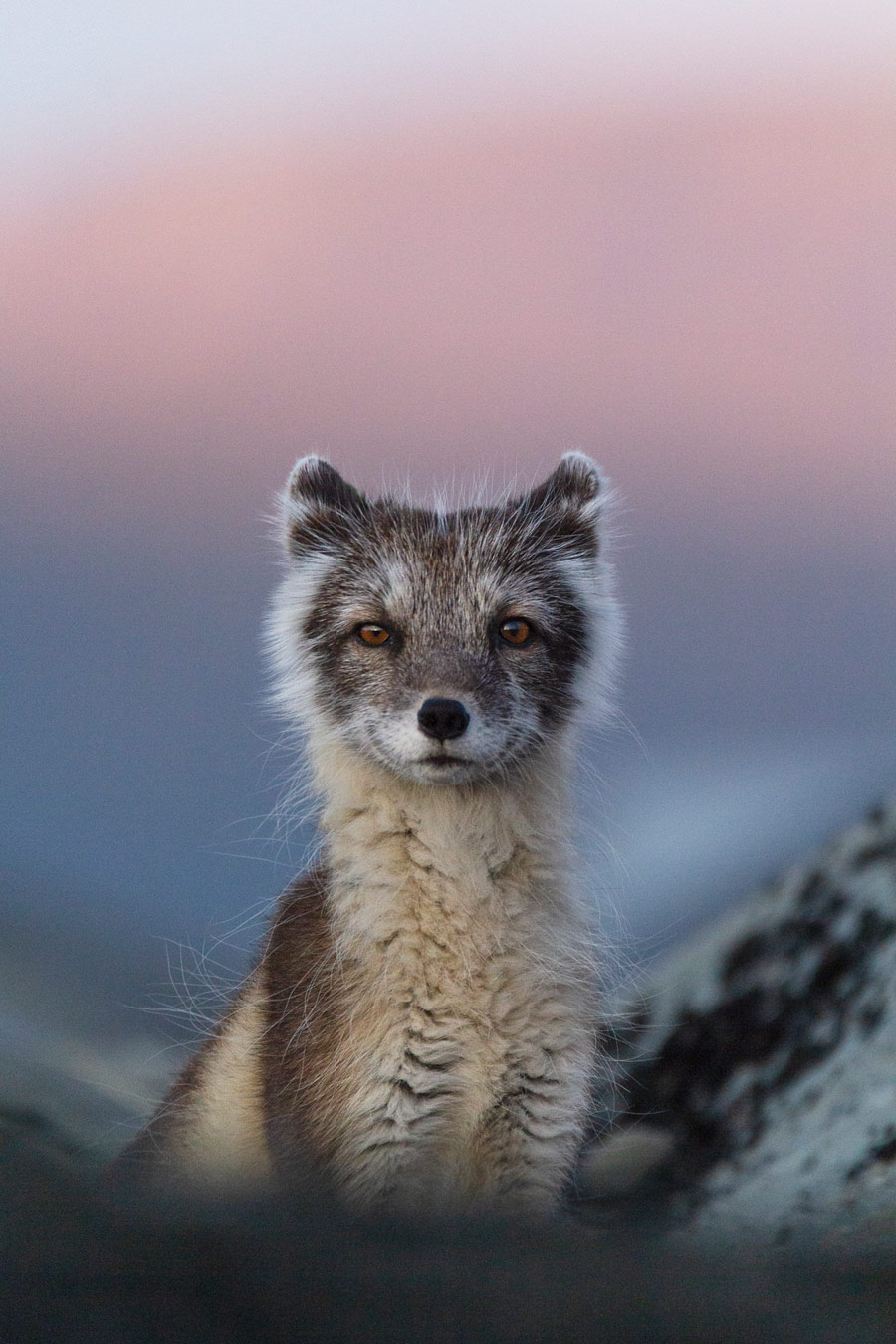 Polar fox in evening light, © Carla Rivas (ESP), Category Winner, Nature Photographer of the Year