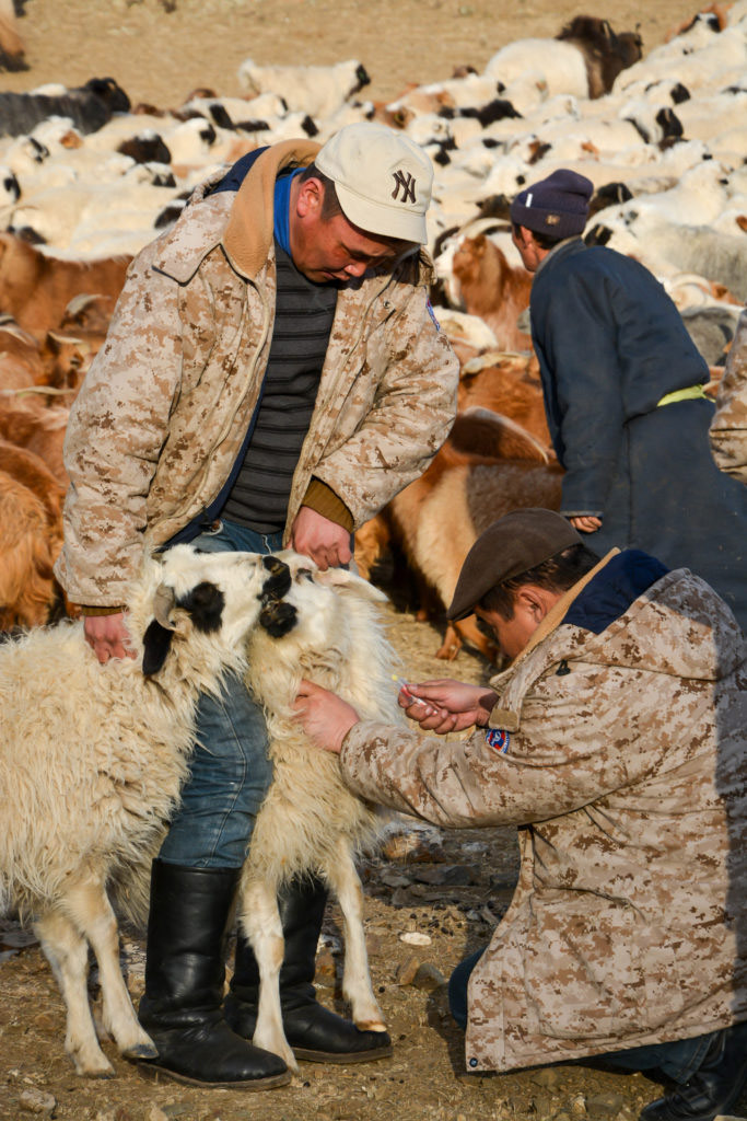 PPR vaccine monitoring. Taking blood samples after four months vaccination, © Dr Ulaankhuu Ankhanbaatar, Asia & Pacific 2018 Winner, Animal health and welfare, beyond the cliché Photo Competition by OIE