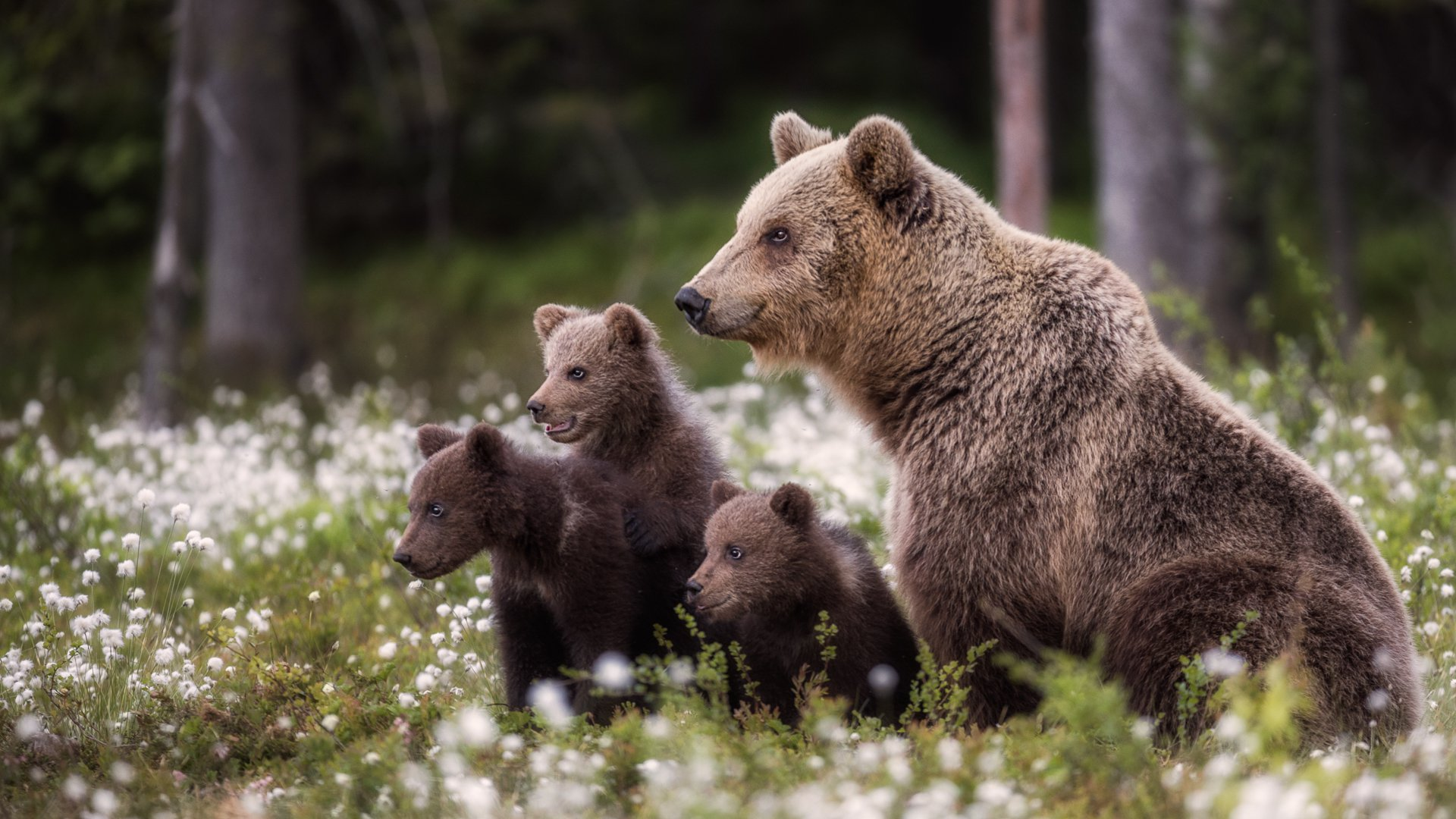 Bear Family, © Dmitry Arkhipov, Russian Federation, Campina Exhibitions Silver Medal, Onyx International Exhibition of Photography