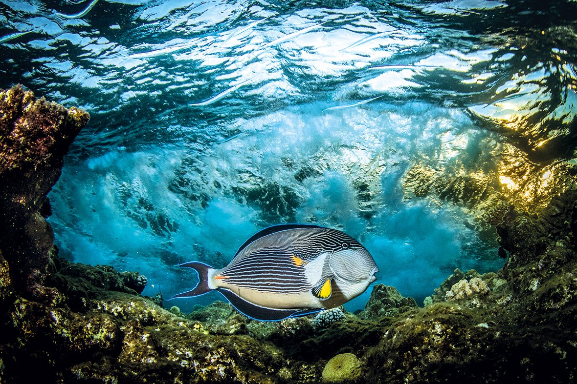 Sohal surgeonfish, Fury Shoals, Red Sea, Egypt, © Saeed Rashid (United Kingdom), Under Exposed Winner, Outdoor Photographer of the Year - OPOTY