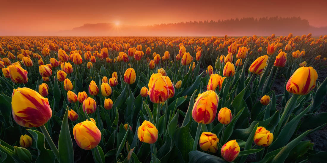 Intimate Tulips, Flevoland, The Netherlands, © Albert Dros, Netherlands, 2018 EPSON Digital Art Prize 3rd Place, EPSON International Pano Awards