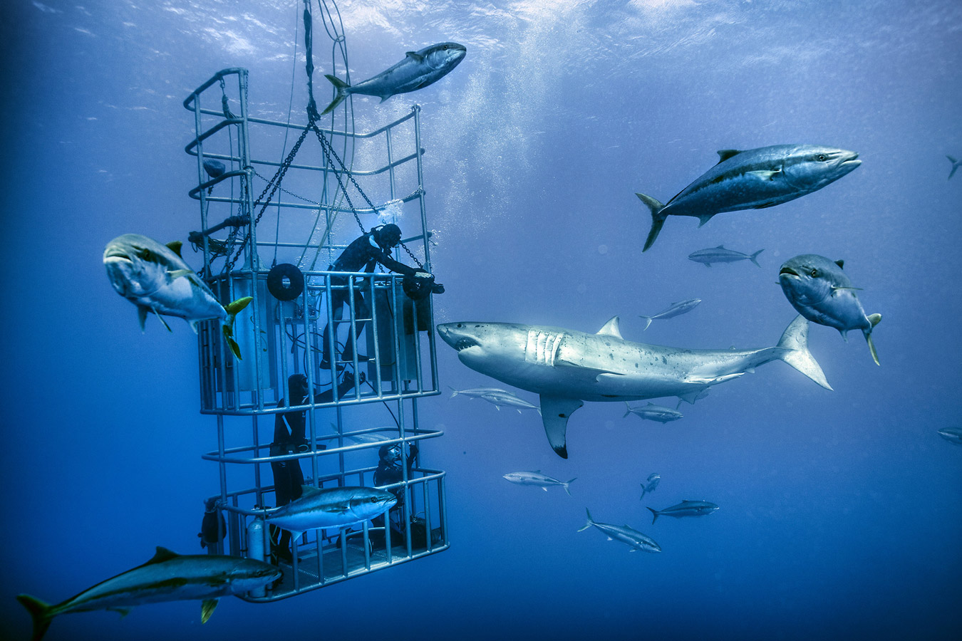 """Great Whites Shark Dive, Guadalupe, Mx"", © Brown W. Cannon III, Bend, OR, United States, First Place Professional : Action/Adventure, PDN Adrenaline - Sports and Action Photography"