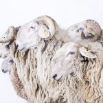 Farmville, Portraits Of Animals (Almost) Lost, © Emanuela Colombo, Sumirago, Varese, Italy, Professional : Animal Portraits, PDN Faces - Portrait Photography Contest