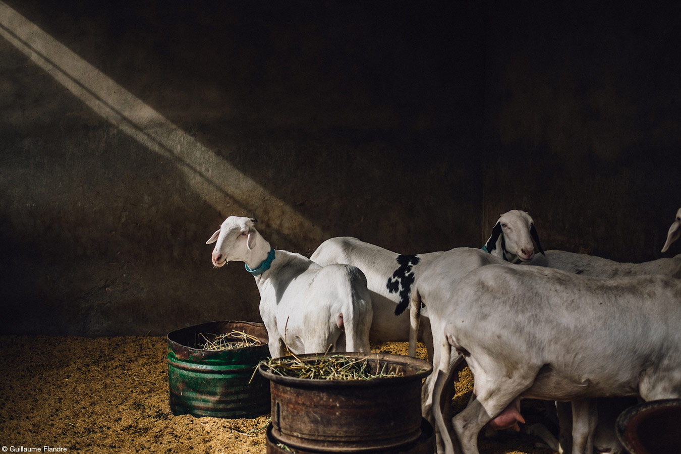 Sheep in Dakar, © Guillaume Flandre, United Kingdom, 1st Place, Food in the Field, Pink Lady Food Photographer of the Year