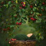 """Apple Dumpling"", © Noelle Mirabella Photography: Cassandra Jones, Grande Prairie , AB, Canada, Newborns, Rangefinder Family Photography Contest"