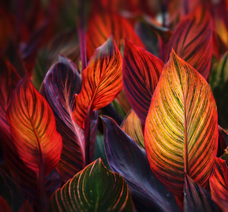 Leaves of Fire, © Ceri D Jones, Winner in category Abstract and Details, RHS Photographic Competition / RHS Gardening