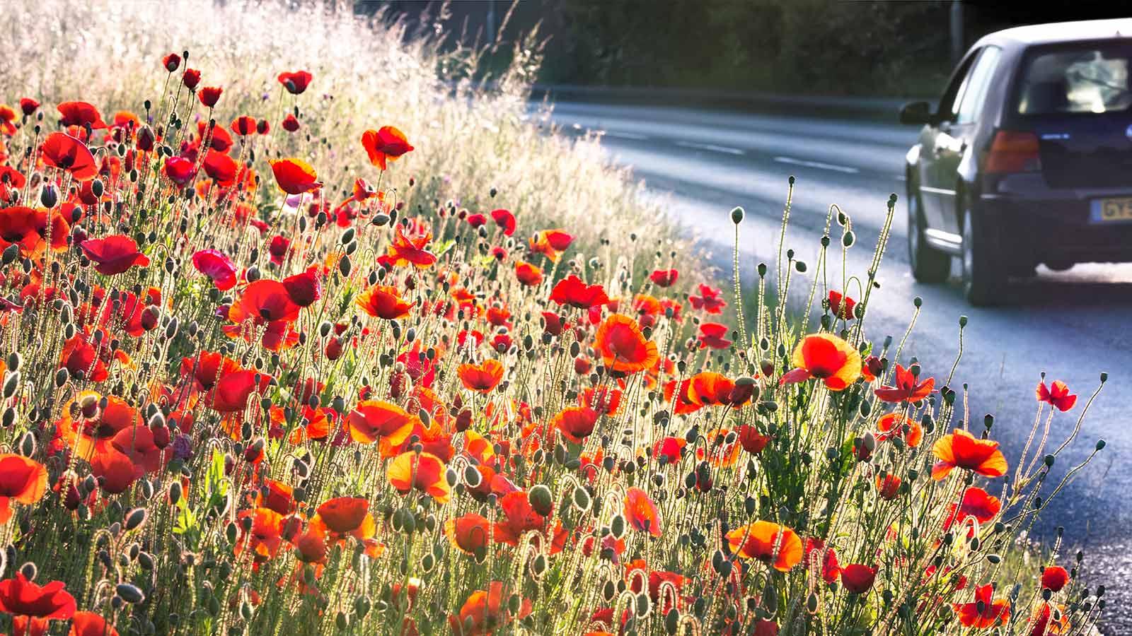 An Urban Roadside Poppy Meadow, © Nigel Burkitt, Winner in category Greening Grey Britain, RHS Photographic Competition / RHS Gardening