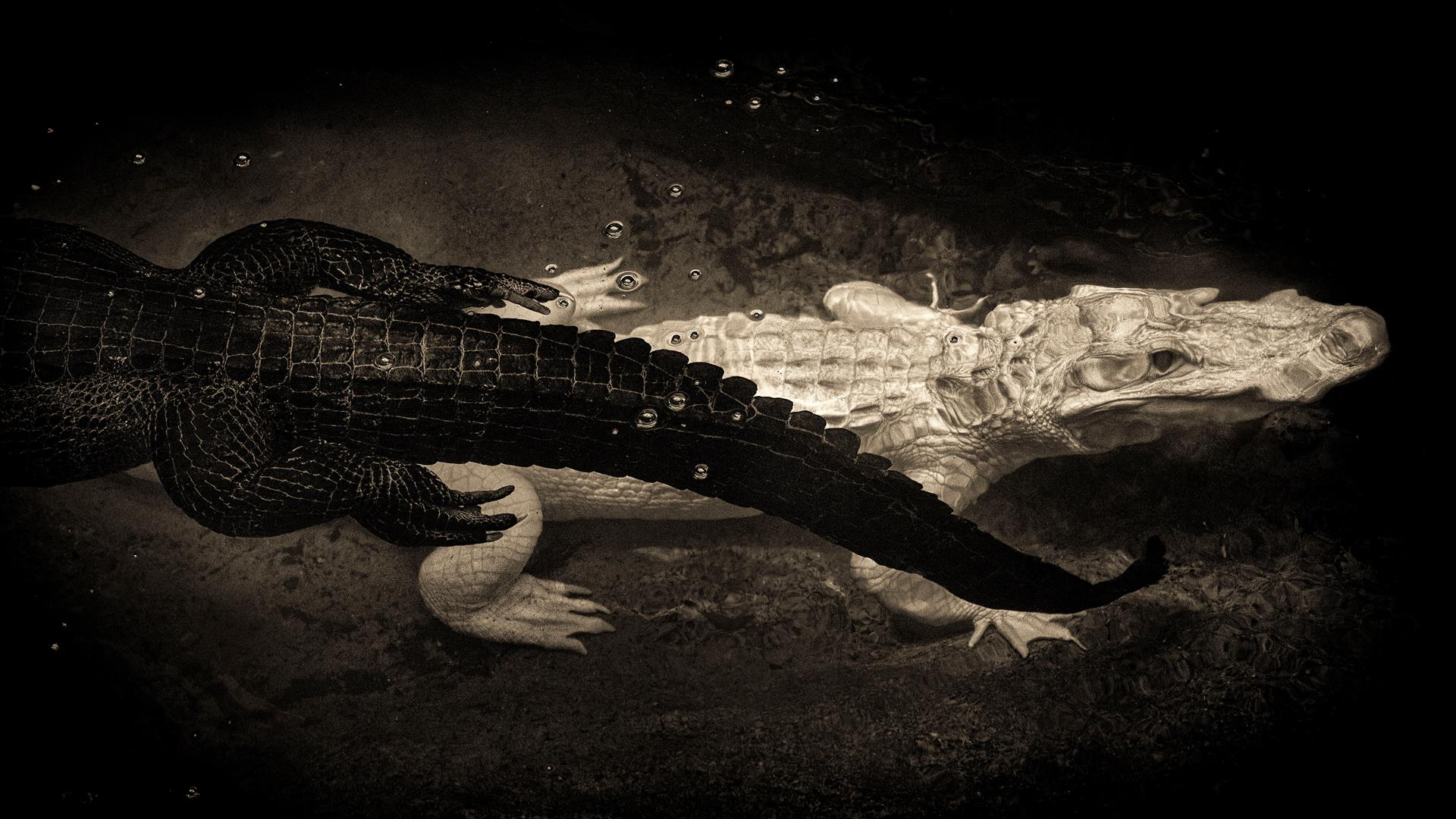 Black & White Alligators, © Ron Henderson, Dallas, Texas, Santa Fe Photographic