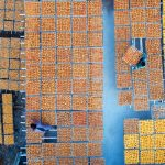 Persimmon Harvest in Golden Autumn, © 天涯, Second Prize Story Professional Group, SkyPixel Photo Contest
