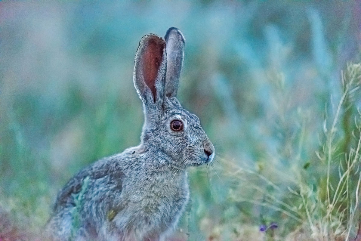 Hare-Tolai, © Saltore Saparbayev, Finalist in the nomination Nature, Science Elements Photo Contest