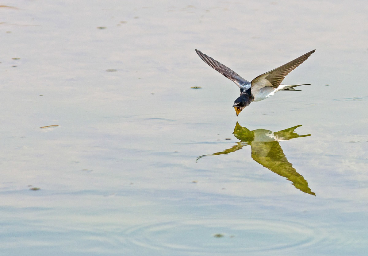 Rustic swallow at watering place, © Saltore Saparbayev, Finalist in the nomination Nature, Science Elements Photo Contest