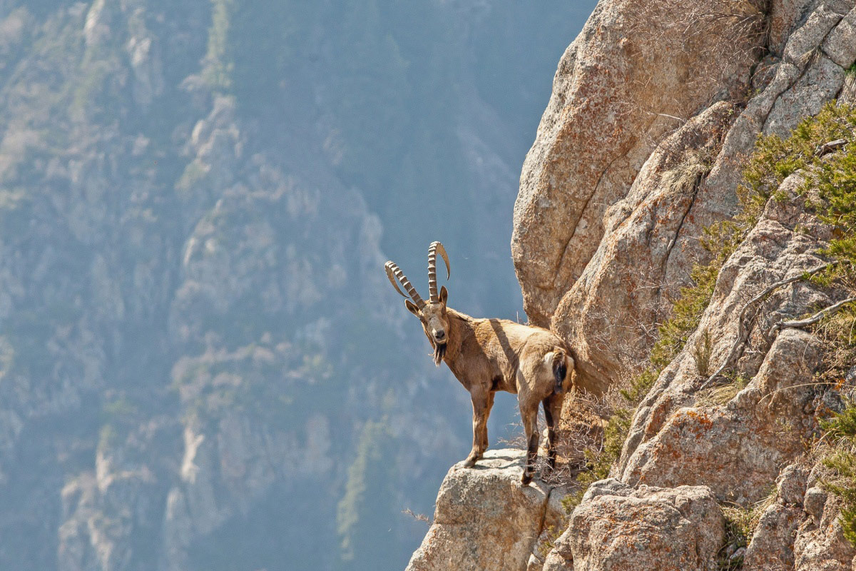 Mountain goat, © Saltore Saparbayev, Finalist in the nomination Nature, Science Elements Photo Contest