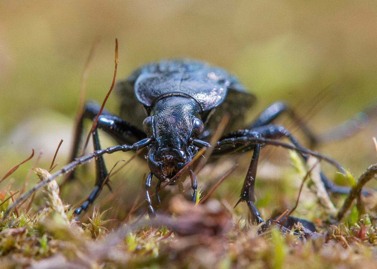 Ground beetle grainy on hunting, © Irina Pilipenko, Finalist in the nomination Microcosm, Science Elements Photo Contest