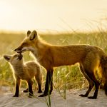 Red Fox Family, © Raj Das, Framingham, MA, United States, First Place Professional : Wildlife/Insects, The Great Outdoors: Landscape & Wildlife Photography Contest