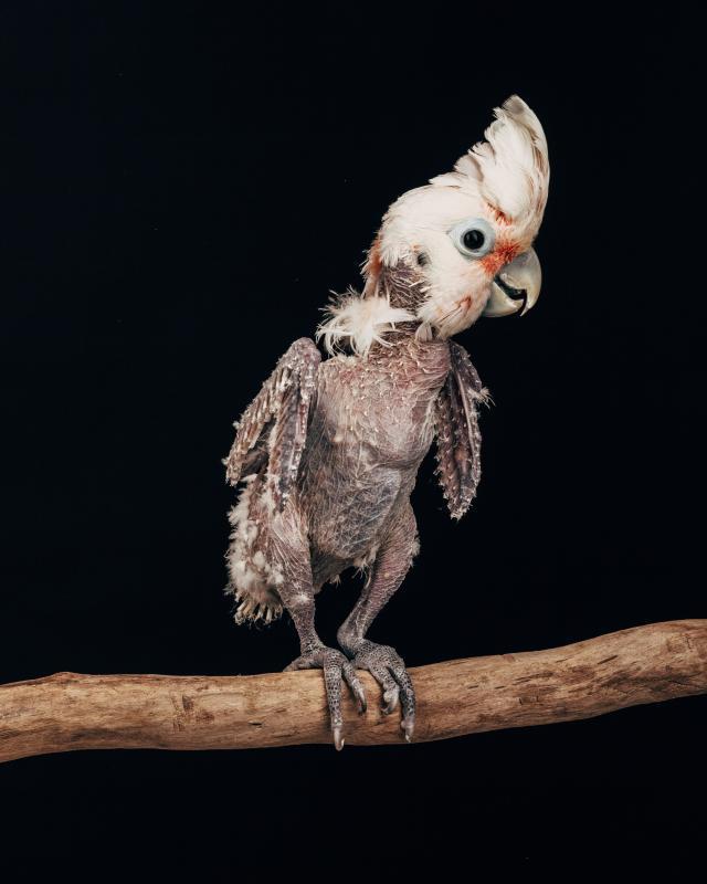 Earthbound | Portrait series of Captive Birds, © Oliver Regueiro, United States, 1st Place, Tokyo International Foto Awards