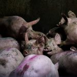 Slaughterhouse, © Aitor Garmendia, Spain, 1st Place Editorial Professional, Tokyo International Foto Awards