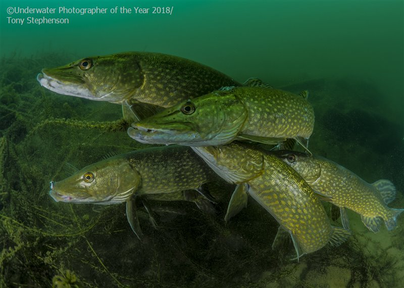How many pike? © Tony Stephenson, UK, Most Promising British Underwater Photographer, Underwater Photographer of the Year