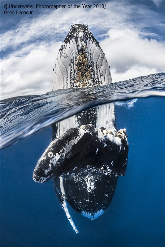 Humpback Whale Spy Hopping, © Greg Lecoeur, France, Wide Angle Winner, Underwater Photographer of the Year