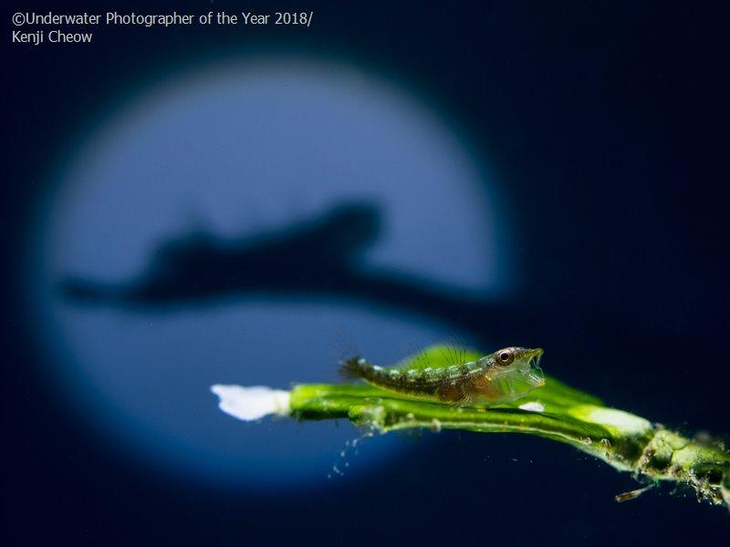 The Shadow, © Kenji Cheow (Malaysia), Macro Third, Underwater Photographer of the Year