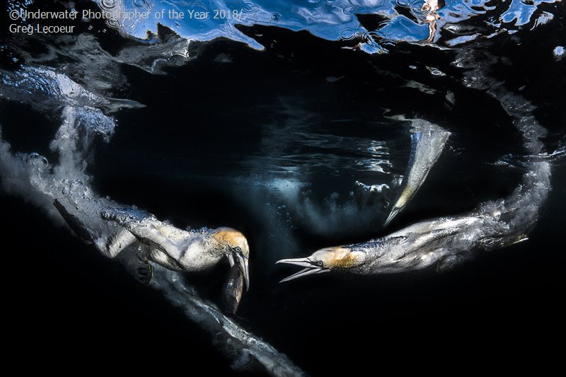 Gannets Feeding, © Greg Lecoeur (France), Behaviour Third, Underwater Photographer of the Year