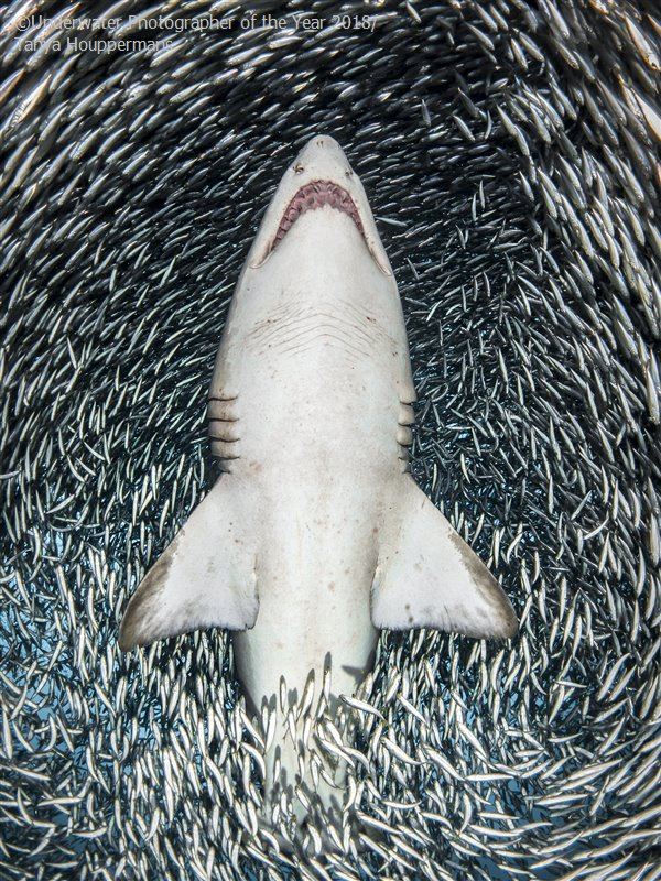 A Sand Tiger Shark Surrounded By Tiny Bait Fish, © Tanya Houppermans (USA), Portrait Winner, Underwater Photographer of the Year
