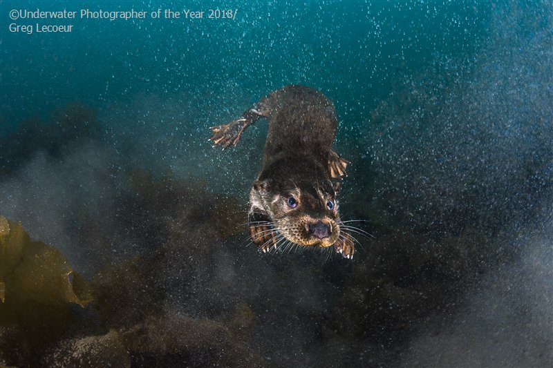Fresh Otter at Sea, © Greg Lecoeur (France), British Waters Wide Angle Third, Underwater Photographer of the Year