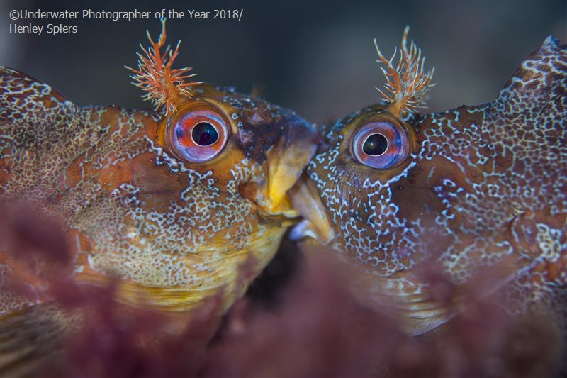 Battle of the Tompots, © Henley Spiers (UK), British Waters Macro Winner, Underwater Photographer of the Year