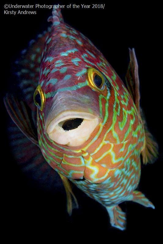 Colourful Corkwing, © Kirsty Andrews (UK), British Waters Macro Third, Underwater Photographer of the Year