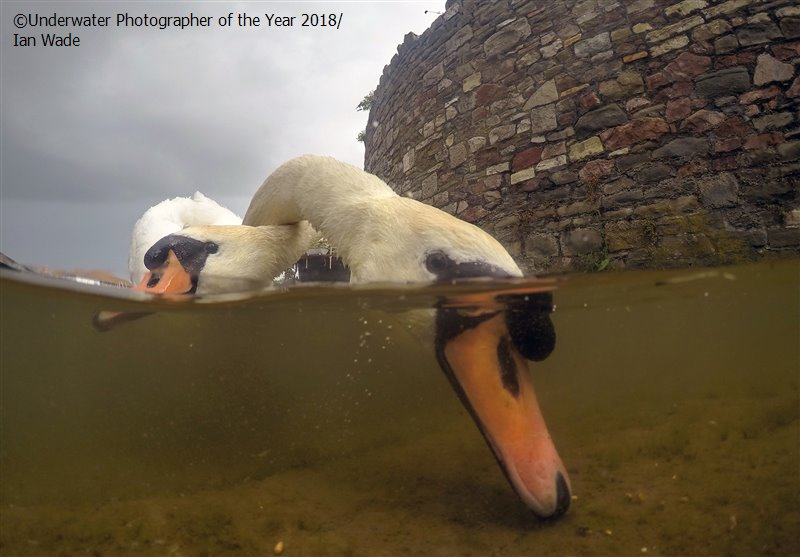 Intertwined Mute Swans, © Ian Wade (UK), British Waters Compact Runner Up, Underwater Photographer of the Year